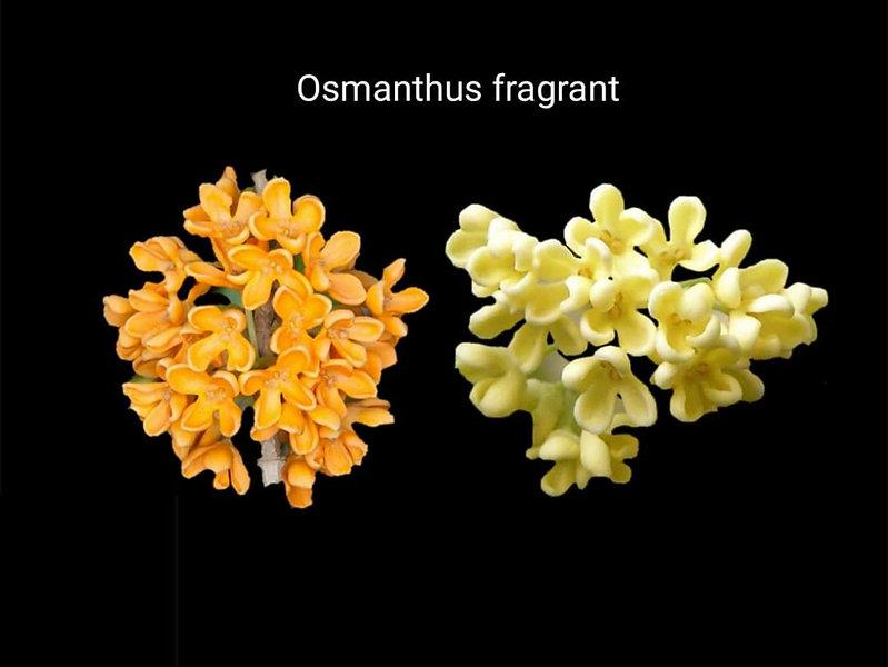 Osmanthus _ Asya ülkelerine özgü bu çiçe