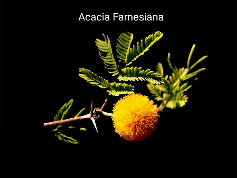 Amber ağacı _ Tatlı Akasya olarakta adı
