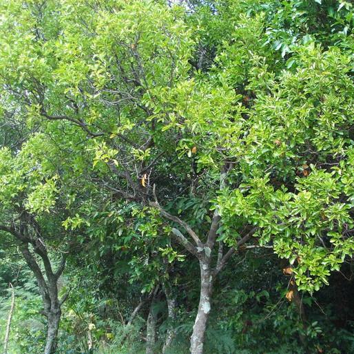 Pasifik beyaz sandal ağacı