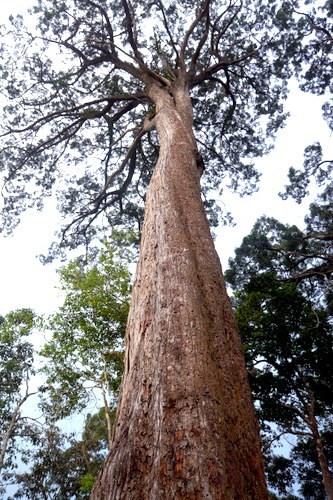 Siyam ağacı