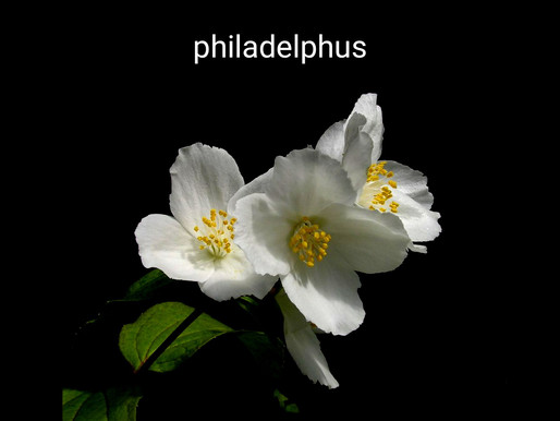 filbahri çiçeği