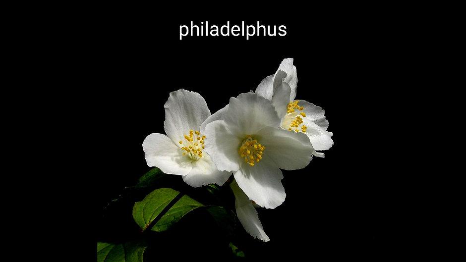 Filbahri çiçeği _ Gardenya, hanımeli, po