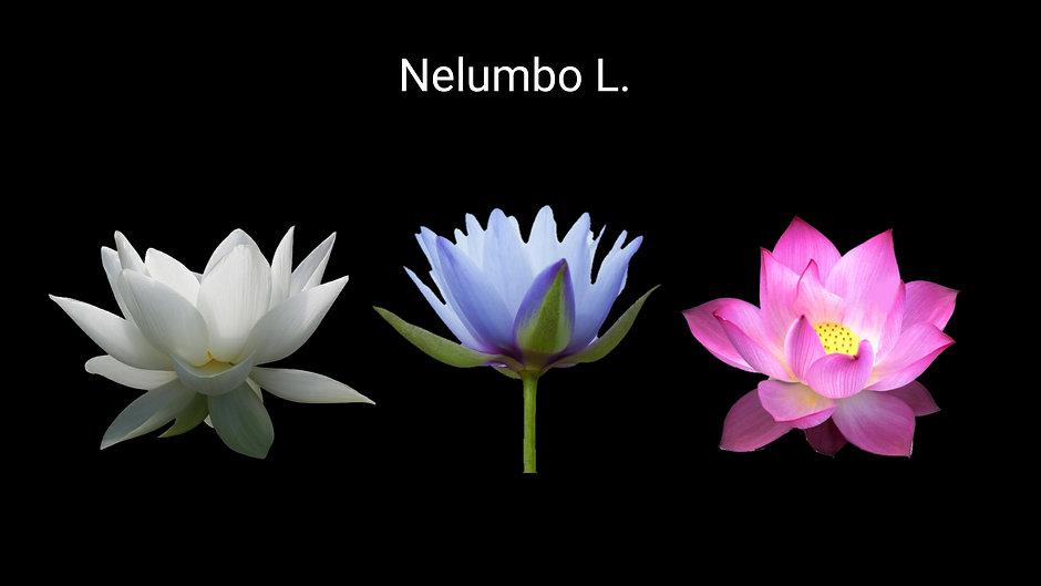 Beyaz & Pembe & mavi Lotus _ Budizm inan