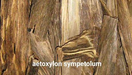 aetoxylon sympetolum.jpg
