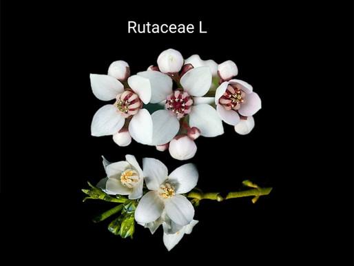 boronia çiçeği