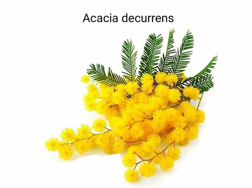 Mimoza çiçeği _ Akasya ailesinin üyesi o