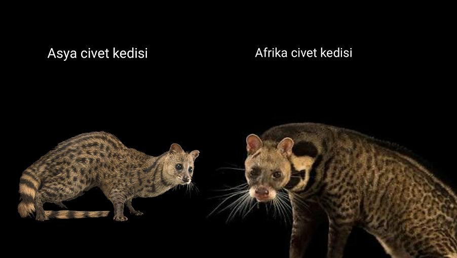 ETÄ°YOPYA_CIVET_KEDÄ°SÄ°_&_PALMÄ°YE_CÄ°V