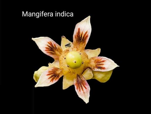 mango çiçeği