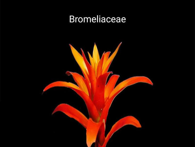 Bromelia___bromelia_sıcak_baharatlı,_o