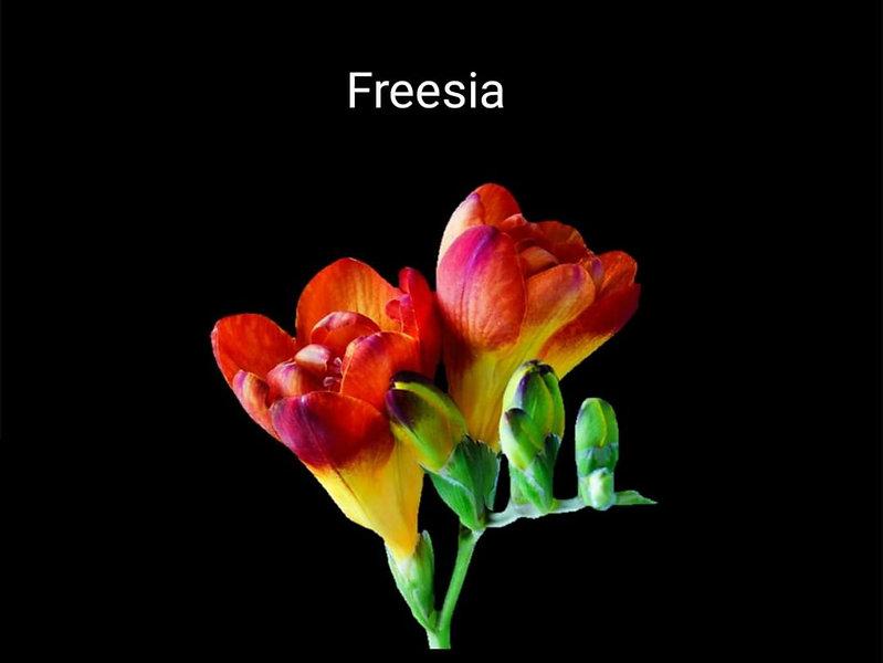 Frezya___genellikle_parfümlerde_kalp_no