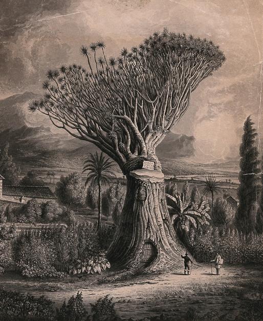 Parfümlerde ejder kanı ağacı