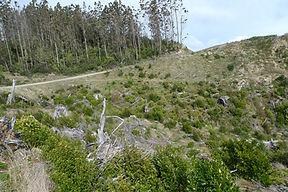 Maungataniwha Pine Forest Regeneration 3
