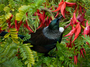 Parrot's beak clings to life in North Island forests