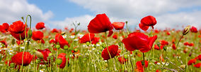 close up photo of red poppy flowers in a field