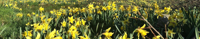 Daffodils in Gerardmer