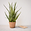 Thumbnail: 58cm Aloe Vera In Clay Pot