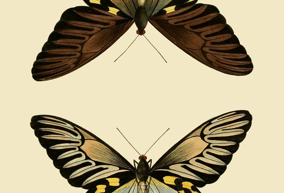 Brown pair of butterflies