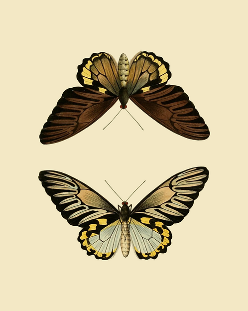Brown pair of butterflies