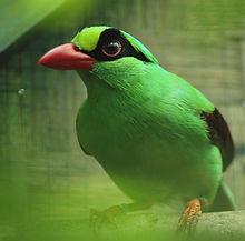 Javan green magpie_credit Cikananga Conservation Breeding Centre.jpg