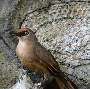 rufous-fronted laughingthrush_Cikananga Conservation breeding center.jpg