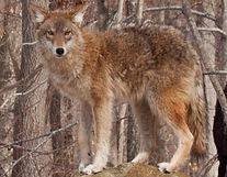coyote-icon.jpg