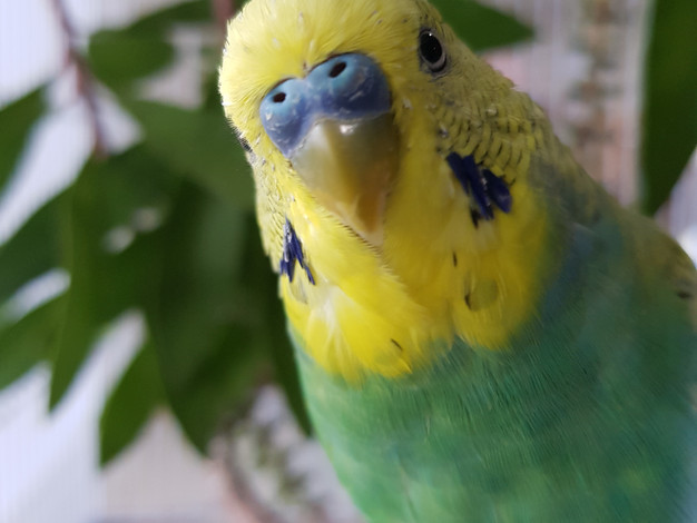 Budgie test photo.jpg