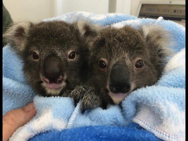 Twin Koalas.JPG