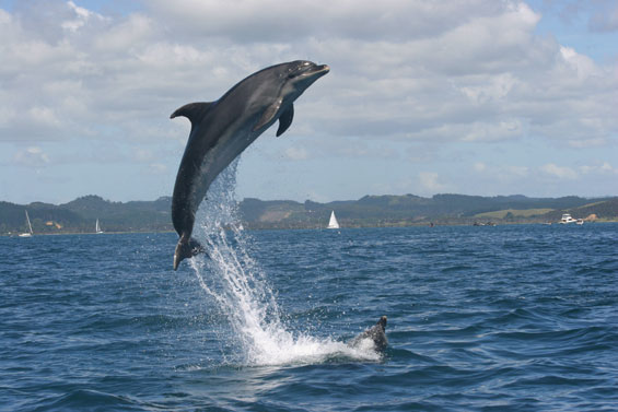 bottlenose-dolphin-bay-of-islands-565