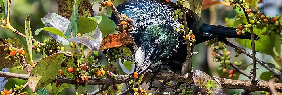 The Hungry Tui