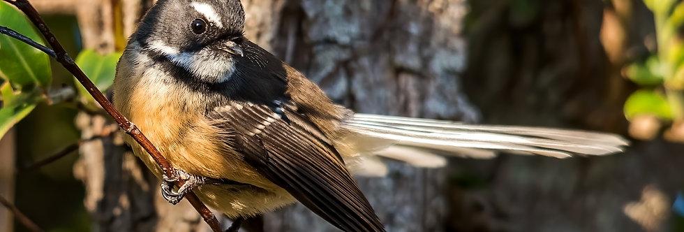 Flighty Fantail