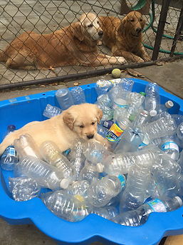 5 wk Denali X Kip puppy.JPG