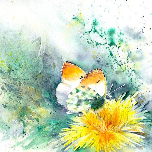 Orange-tip on dandelion (Framed painting)