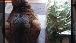 白菜と猫のちび
