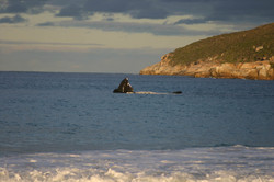 Southern Right Whales feeding