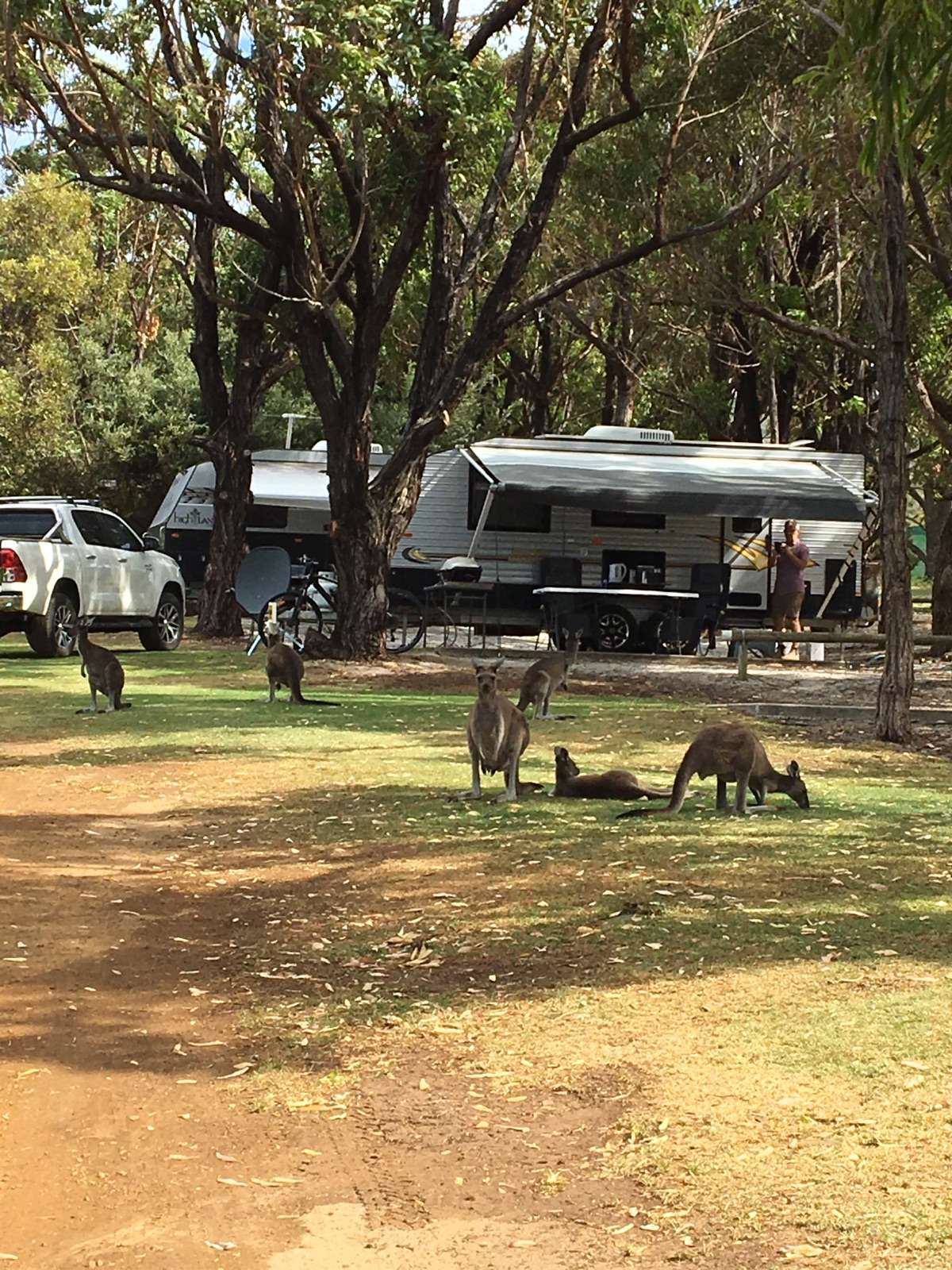 Kangaroos in the park