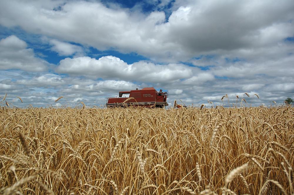 Os produtores de trigo criticaram os juros pagos sobre os empréstimos no âmbito do Proagro. (Fernando Dias/Seapa)