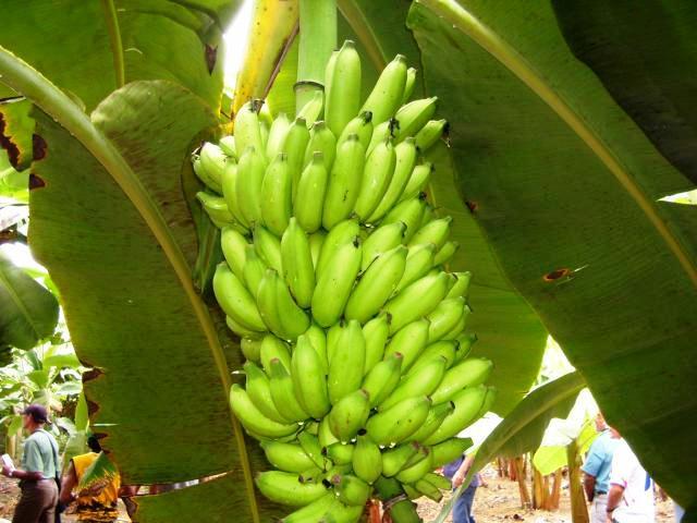 Cultivar da bananeira BRS Conquista (Foto: Maria Jose Tupinama)