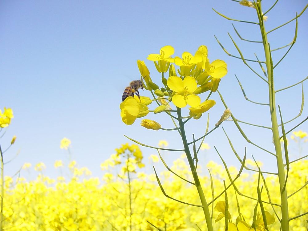 Diversificar matérias-primas é ponto-chave para aumentar produção de biocombustíveis: canola é uma das alternativas - (Foto: Nilton Bustão)