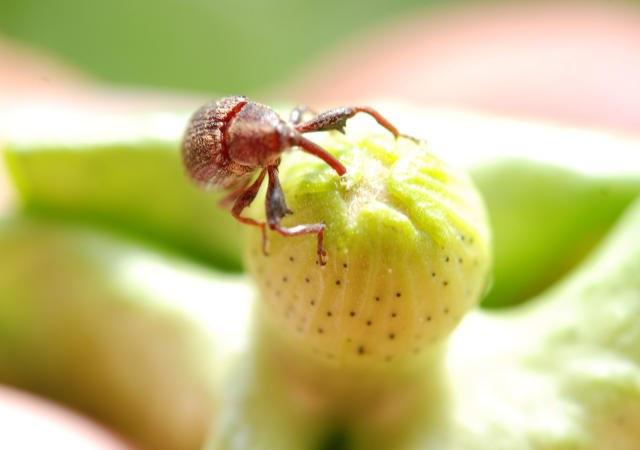 Acordo de R$ 18 milhões permitirá trabalho da Embrapa e do IMamt durante cinco ano para combater a proliferação do inseto
