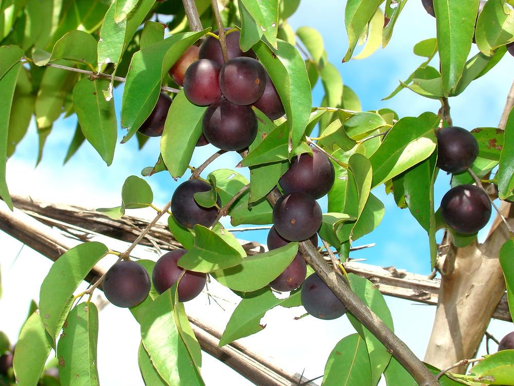 Caçari cresce em arbustos ou pequenas árvores e se encontra disperso em quase todo o Estado - (Embrapa Roraima)