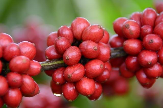 Área total cultivada com o produto deve atingir 2,21 milhões de hectares (MAPA)