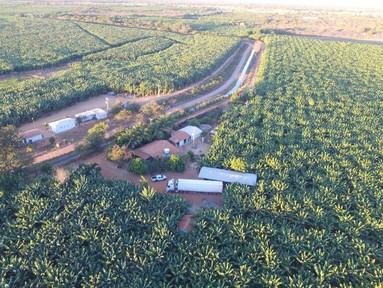 IBGE: Bananais da Bahia representam 21% da produção brasileira