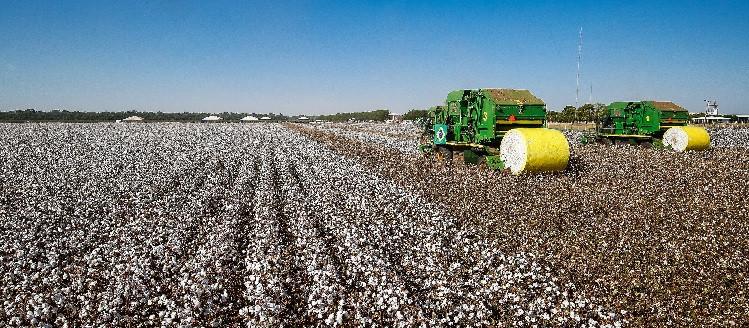 Além do algodão, outros destaques foram amendoim, cana-de-açúcar, laranja, mandioca e uva (Foto: Alan Santos/PR)