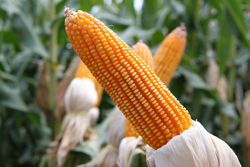 Valorização nos preços de milho e soja é comemorada pelos agricultores do estado. Créditos da foto: Pixabay
