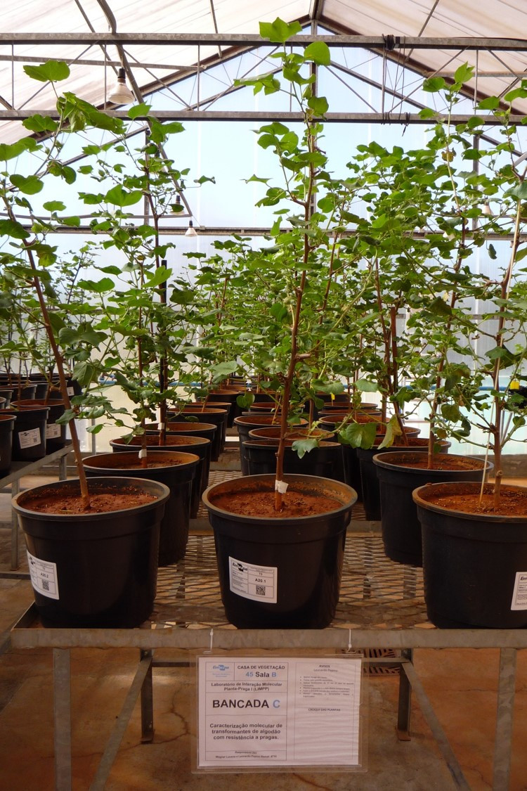 Plantas de algodão GM testadas contra pragas na casa de vegetação da Embrapa