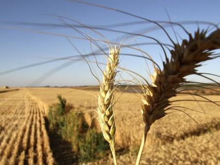 Bloco produtor do Mercosul vai produzir menos trigo