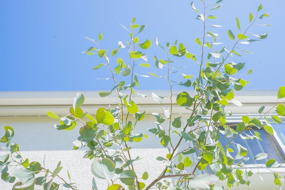 ユーカリの葉.jpg