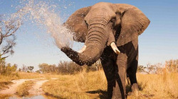 botswana elephant spraying water