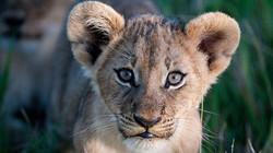 botswana baby lion