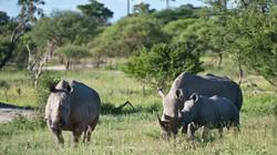 botswana white rhinoceros